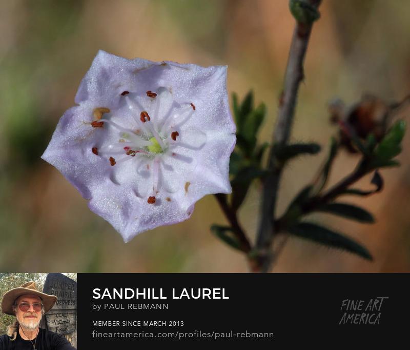Purchase Sandhill Laurel by Paul Rebmann