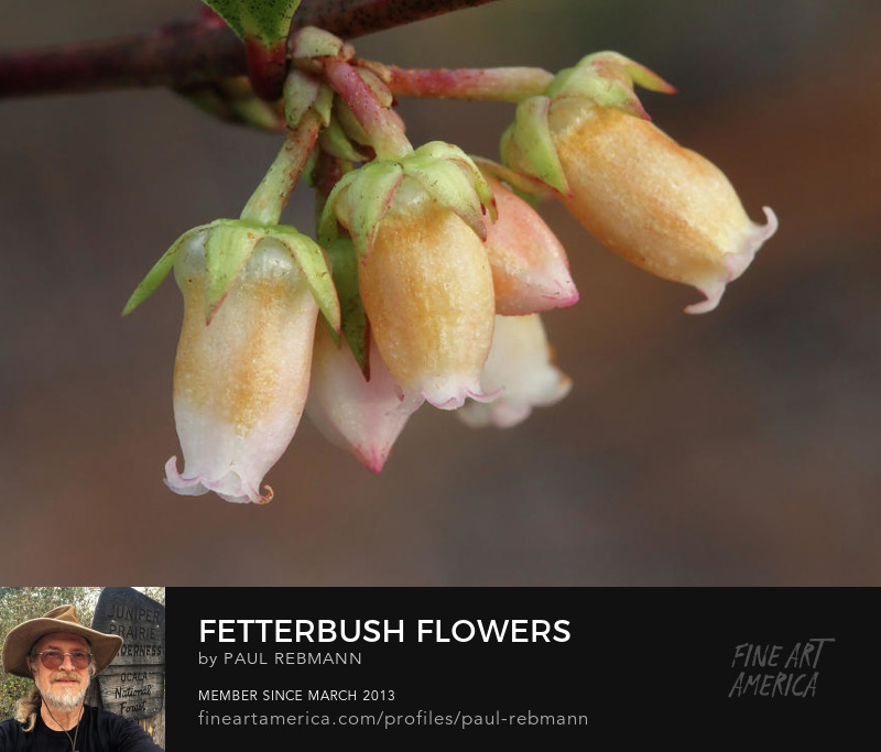 View online purchase options for Fetterbush Flowers by Paul Rebmann