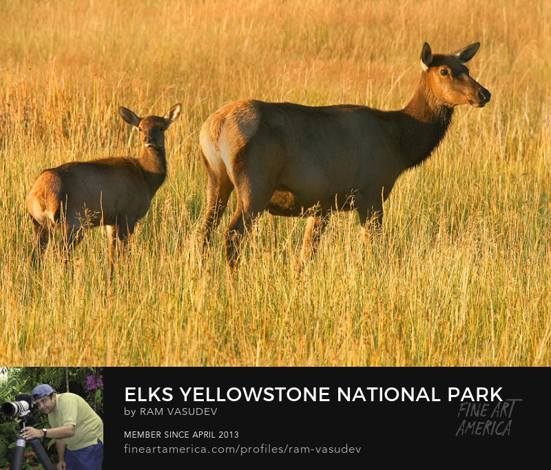 Elks at Yellowstone National Park by Ram Vasudev