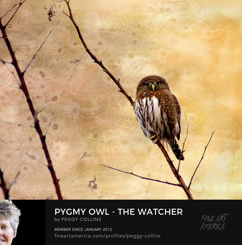 pygmy owl, nature photography, wildlife photo, birds, raptors