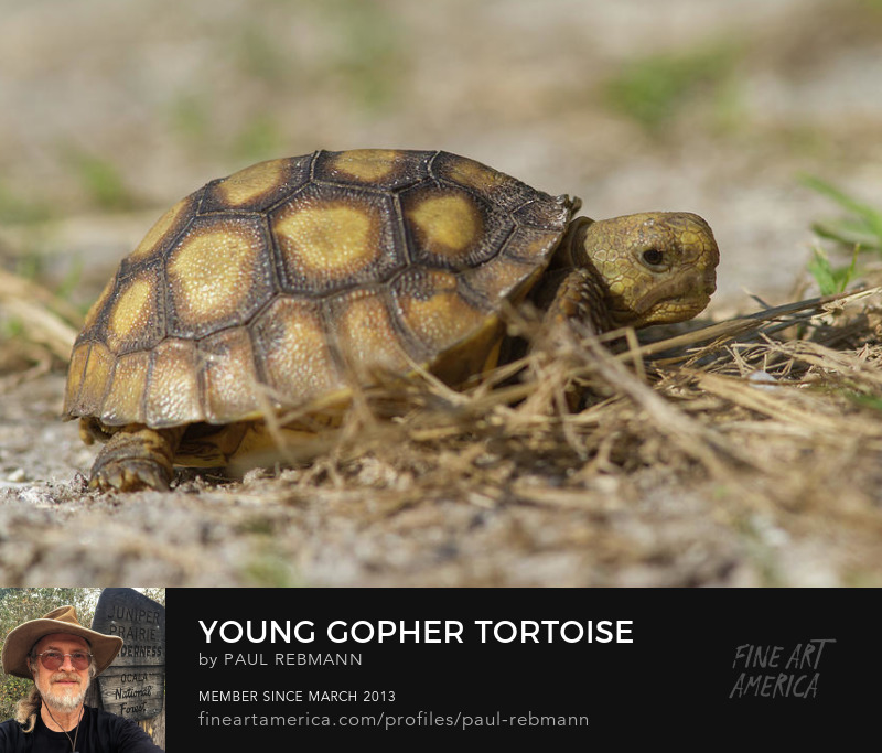 View online purchase options for Young Gopher Tortoise by Paul Rebmann