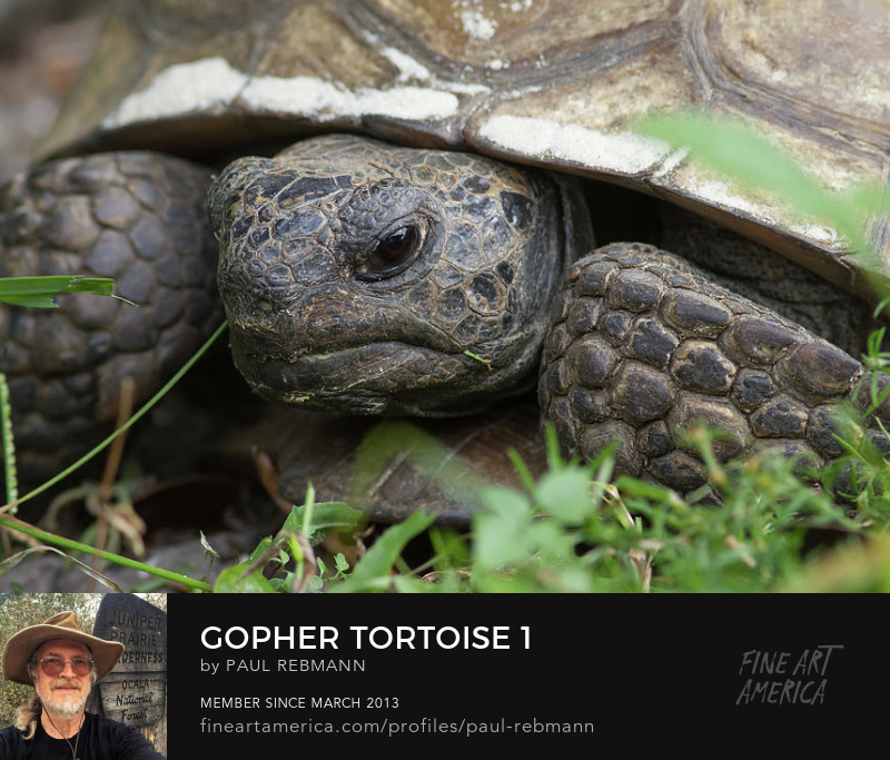 View online purchase options for Gopher Tortoise #1 by Paul Rebmann