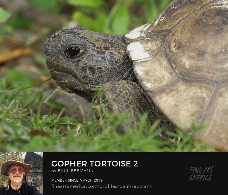 View online purchase options for Gopher Tortoise #2 by Paul Rebmann