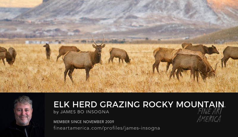 Elk Heard Grazing Rocky Mountain Foothills Panorama Art Prints