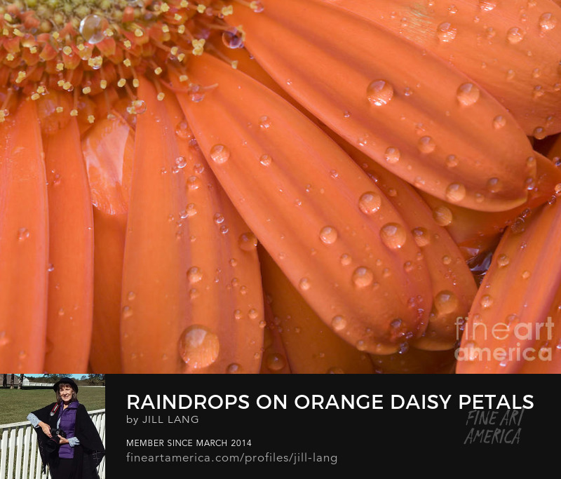 Rain Drops on Gerber Daisy