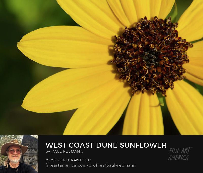 Purchase West Coast Dune Sunflower by Paul Rebmann
