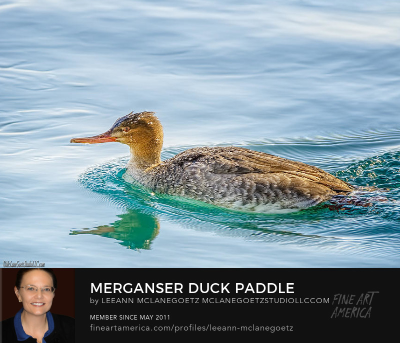 McLaneGoetzStudioLLC.com Merganser Duck Paddle Port Huron Michigan