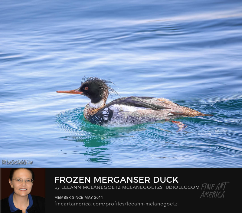 McLaneGoetzStudioLLC.com Frozen Merganser Duck  Port Huron Michigan
