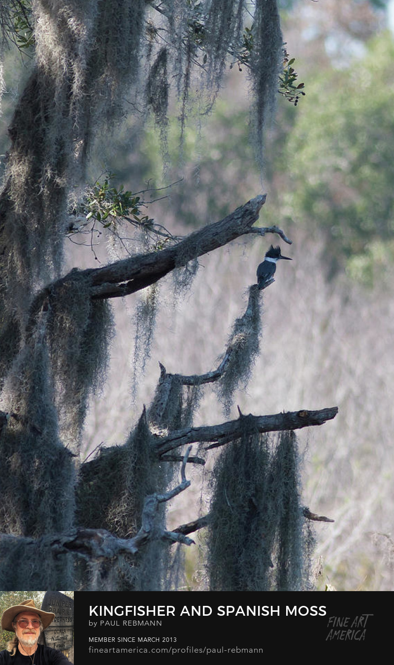 View online purchase options for Kingfisher and Spanish Moss by Paul Rebmann
