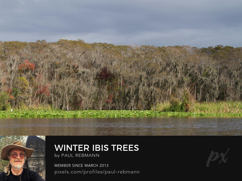 View online purchase options for Winter Ibis Trees by Paul Rebmann