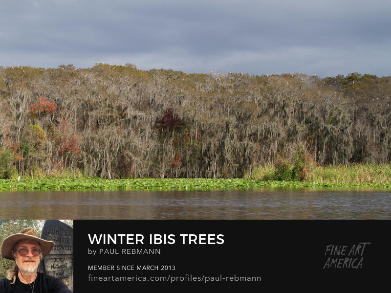 Purchase Winter Ibis Trees by Paul Rebmann