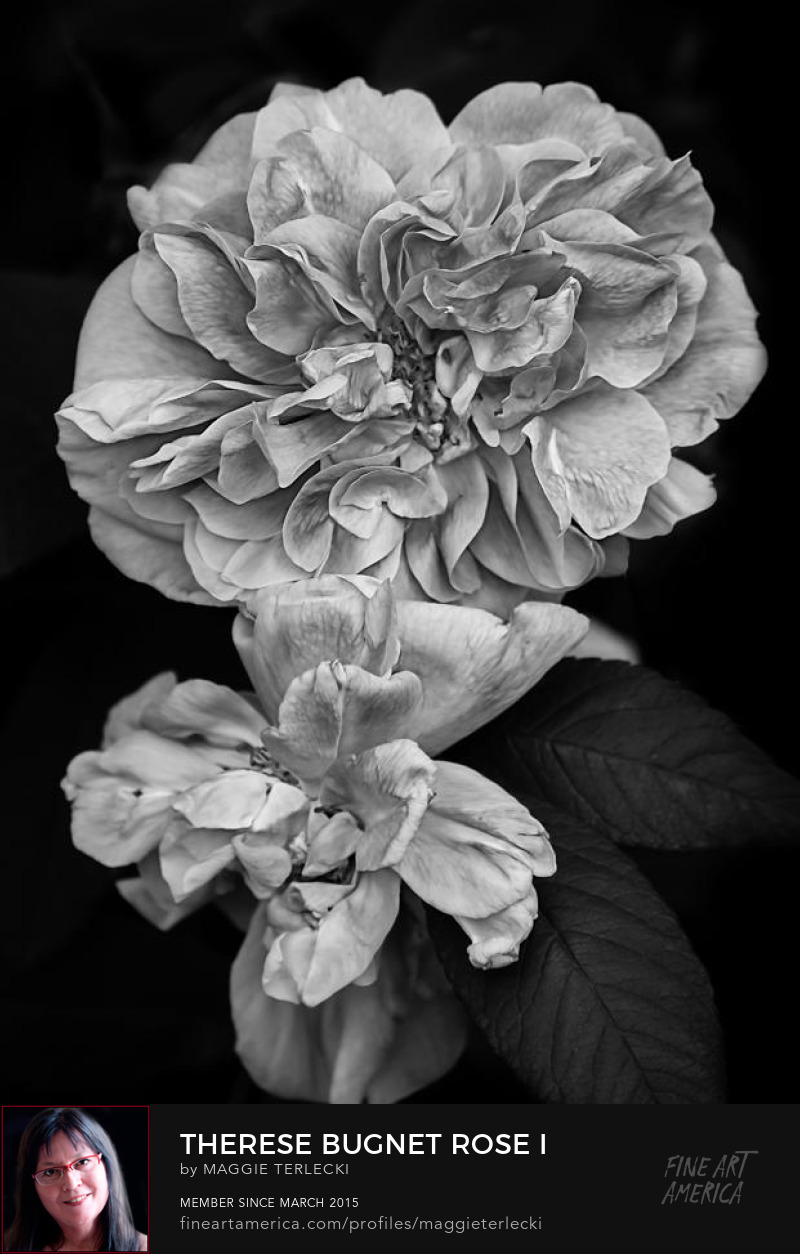 Therese Bugnet Rose I by Maggie Terlecki