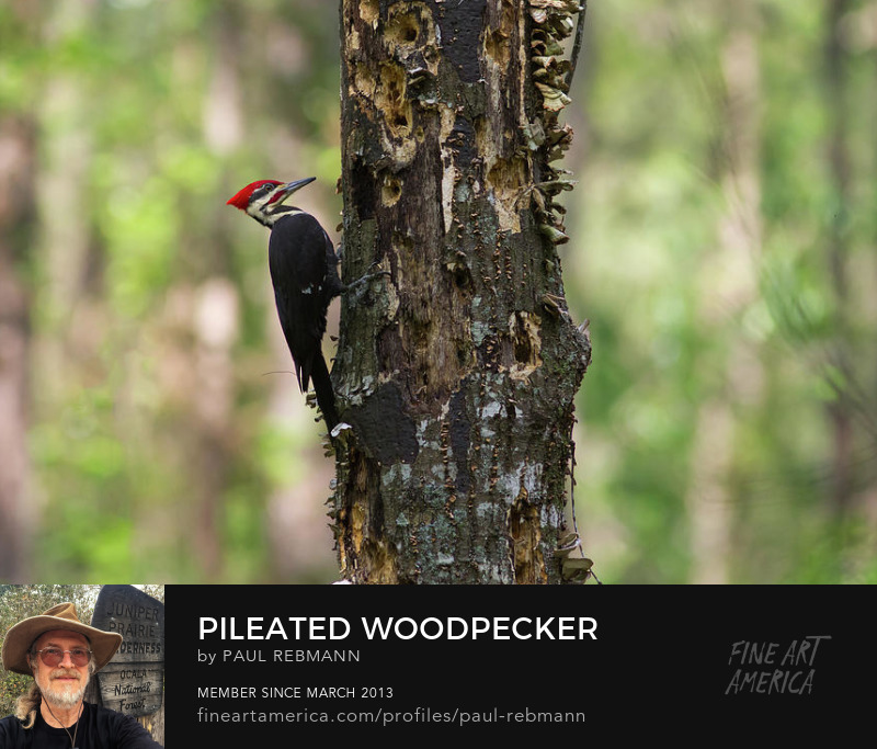 View online purchase options for Pileated Woodpecker by Paul Rebmann