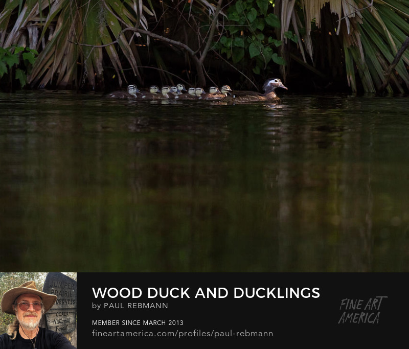 View online purchase options for Wood Duck and Ducklings by Paul Rebmann