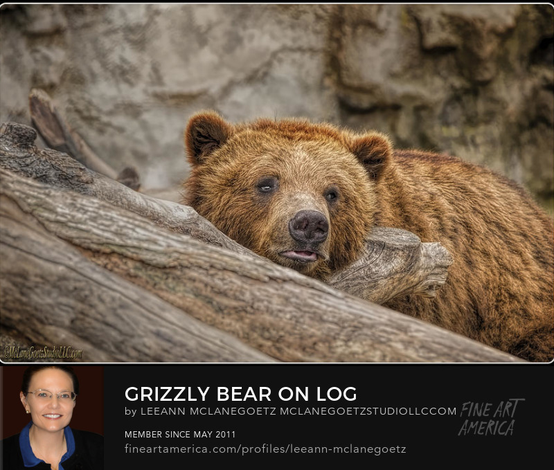 McLaneGoetzStudioLLC.com Grizzly Bear on Log  Detroit Zoo