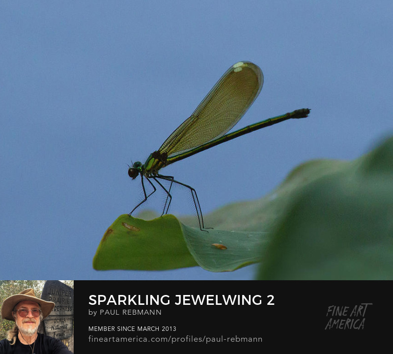 Purchase Sparkling Jewelwing #2 by Paul Rebmann