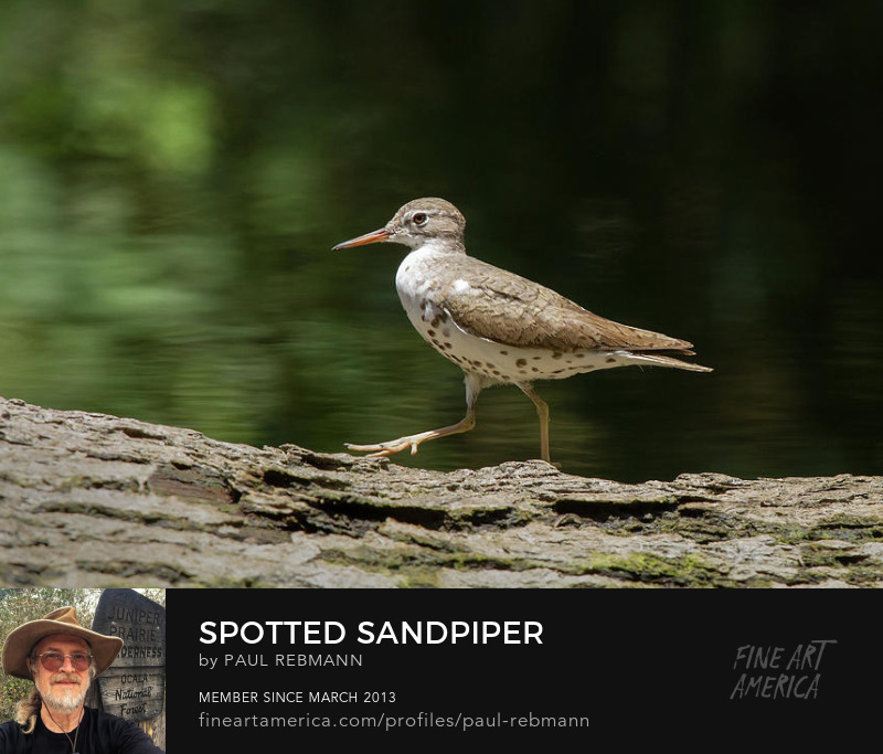 View online purchase options for Spotted Sandpiper by Paul Rebmann