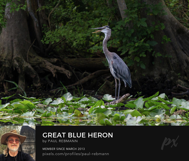 View online purchase options for  Great Blue Heron by Paul Rebmann