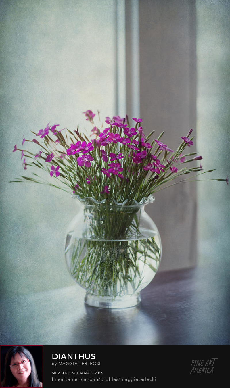 Dianthus by Maggie Terlecki