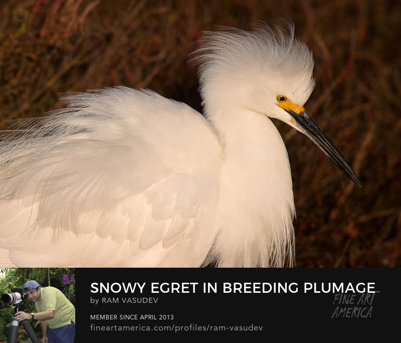 Snowy egret in breeding plumage by Ram Vasudev