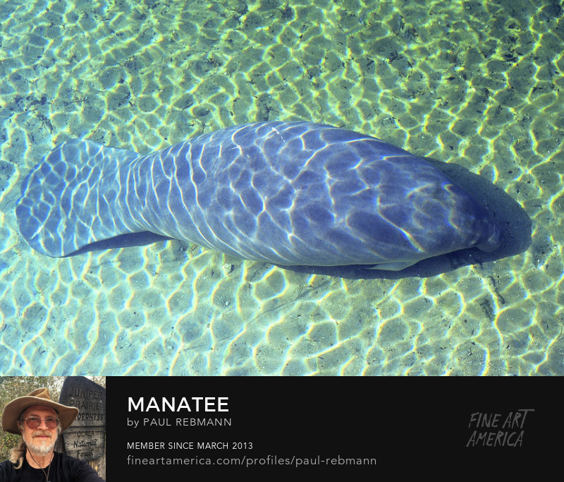 View online purchase options for Manatee by Paul Rebmann