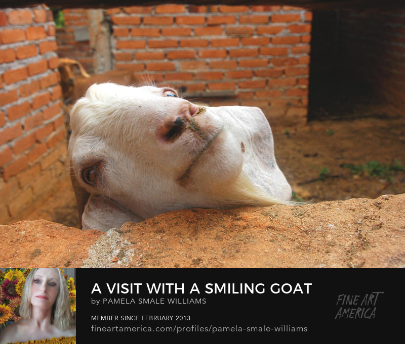 Goat smiling photography prints for purchase