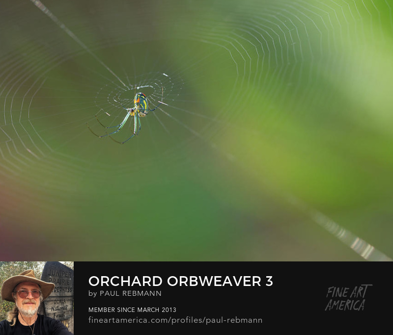 Purchase Orchard Orbweaver #3 by Paul Rebmann