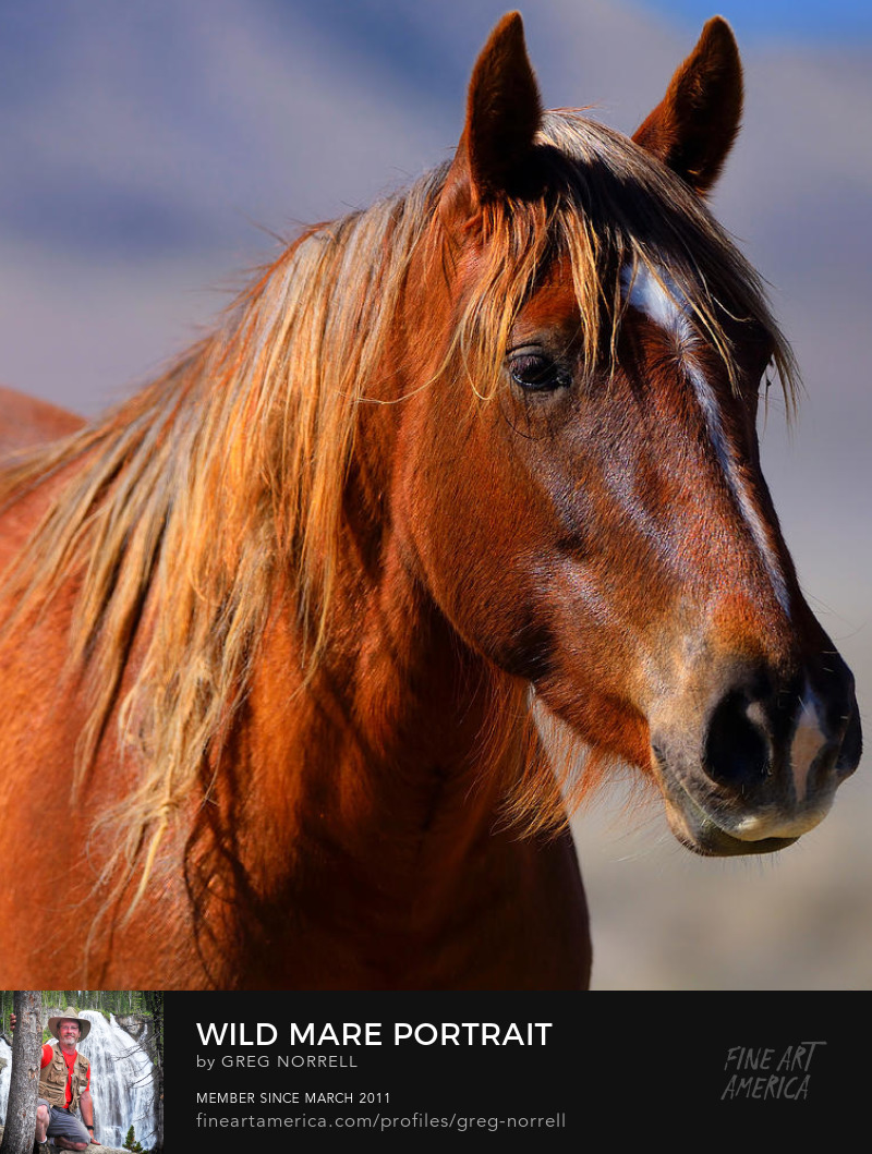 Wild Mare from the Onaqui Wild Horse Range in Western Utah