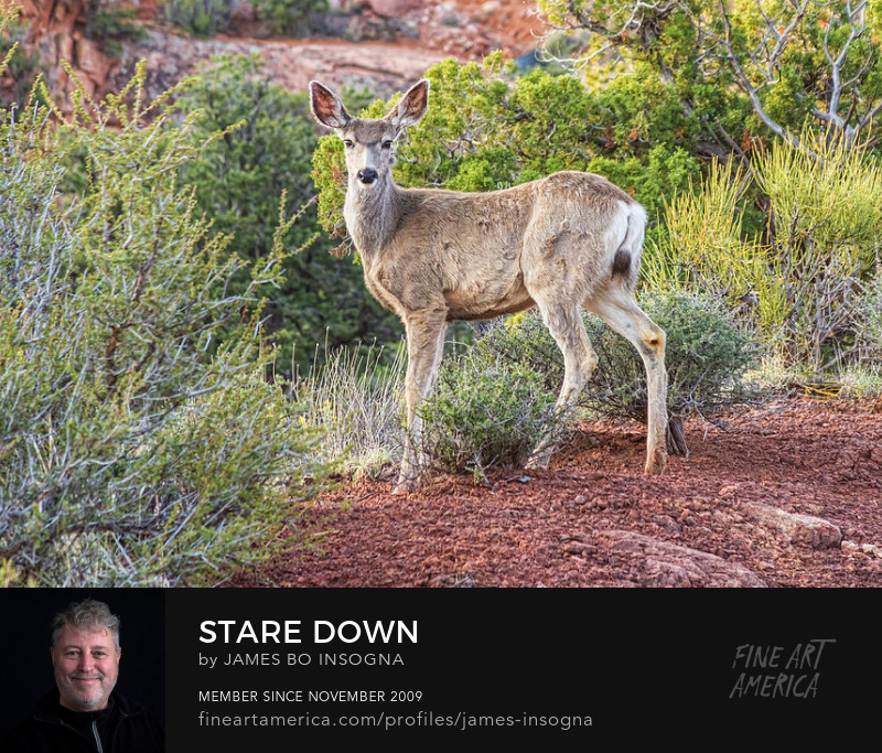 Deer Stare Down Photography Prints