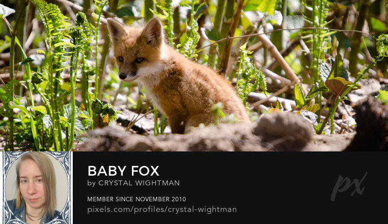A baby fox a wildlife sitting next to its den by Crystal Wightman.