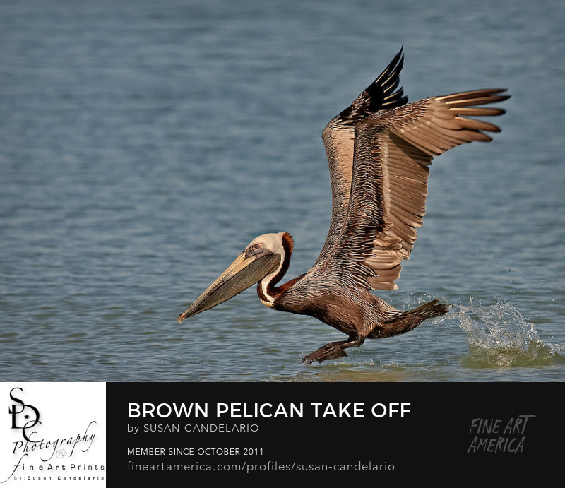 Brown Pelican Take Off Photography Prints