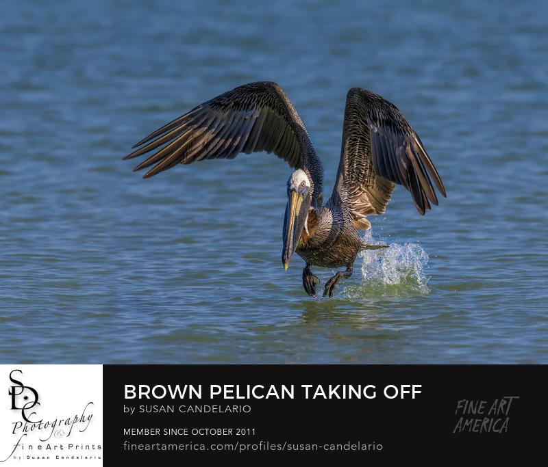 Brown Pelican Taking Off