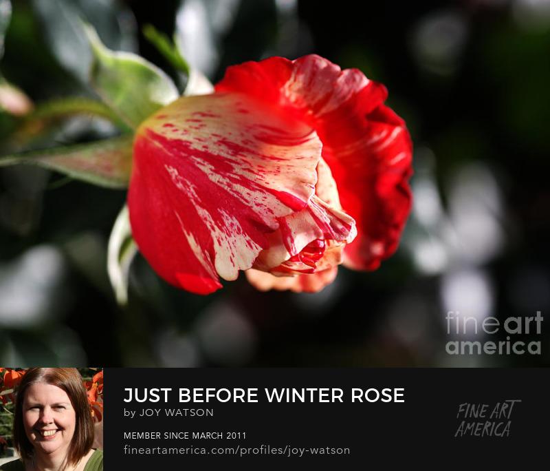 Just Before Winter Rose photography joy watson