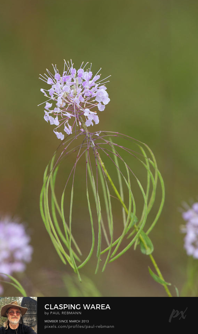View online purchase options for Clasping Warea by Paul Rebmann