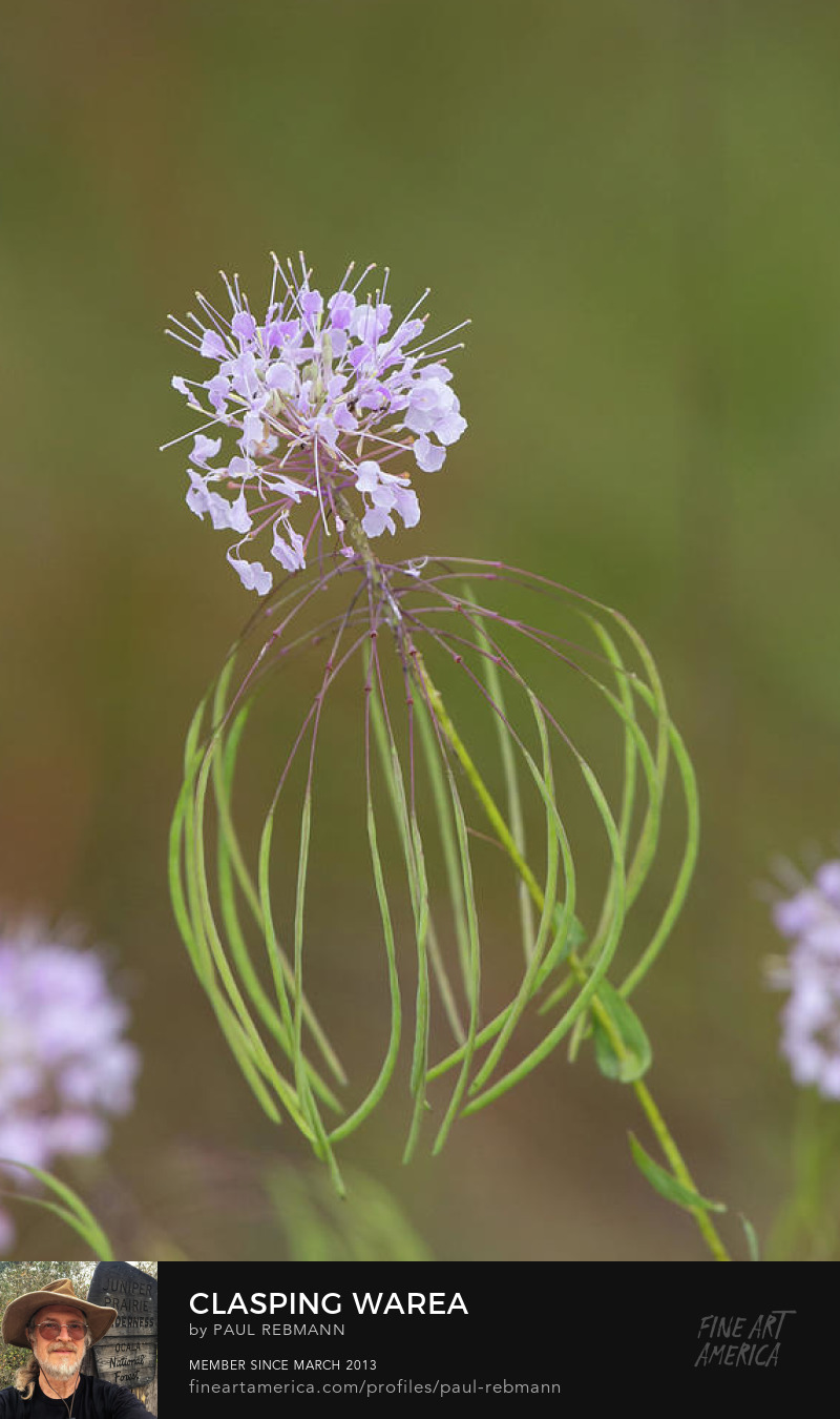 Clasping Warea by Paul Rebmann