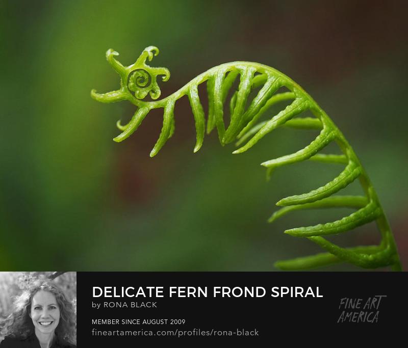 Delicate Deer Fern Spiral � Rona Black