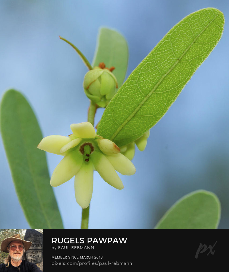View online purchase options for Rugel's Pawpaw by Paul Rebmann