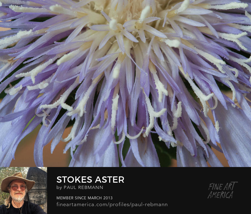 View online purchase options for Stokes' Aster by Paul Rebmann
