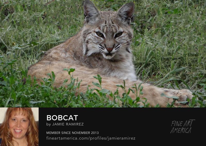 Bobcat Photography by Jamie Ramirez