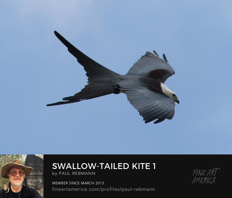 View online purchase options for Swallow-tailed Kite #1 by Paul Rebmann