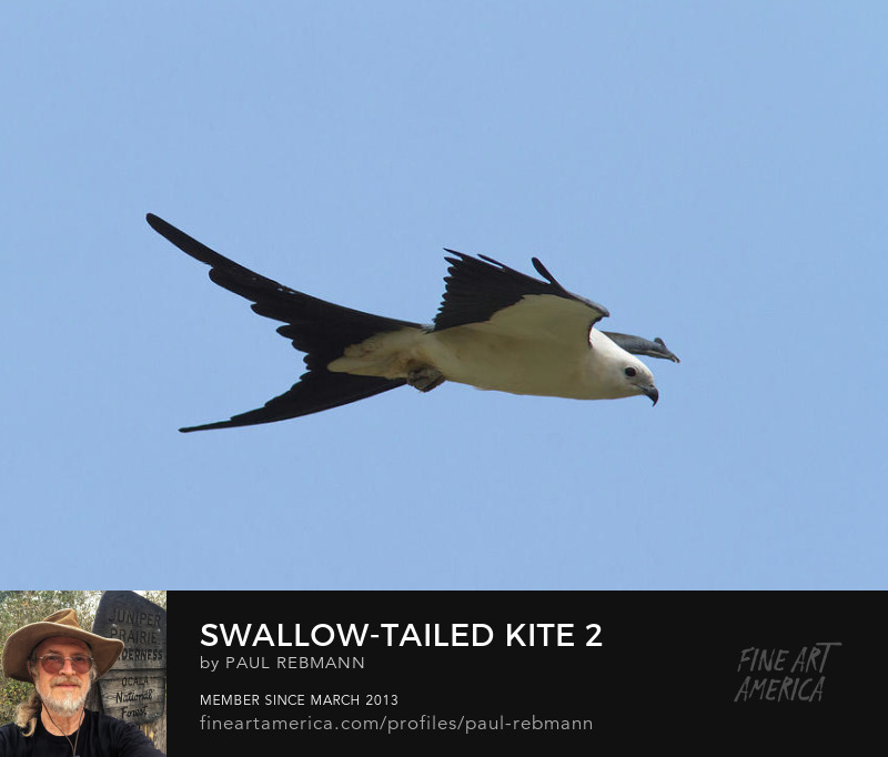 View online purchase options for Swallow-tailed Kite #2 by Paul Rebmann