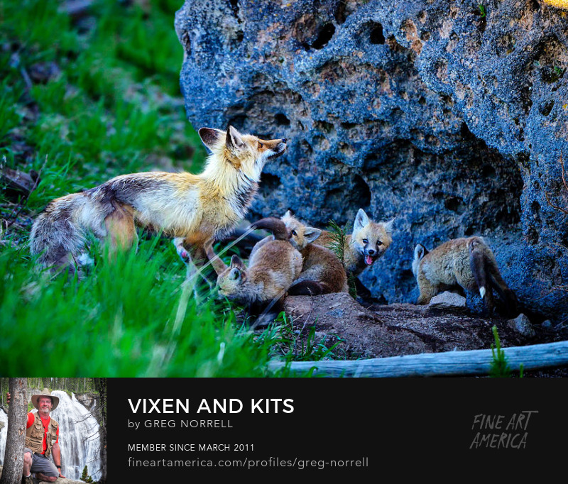 Red Fox with Kits