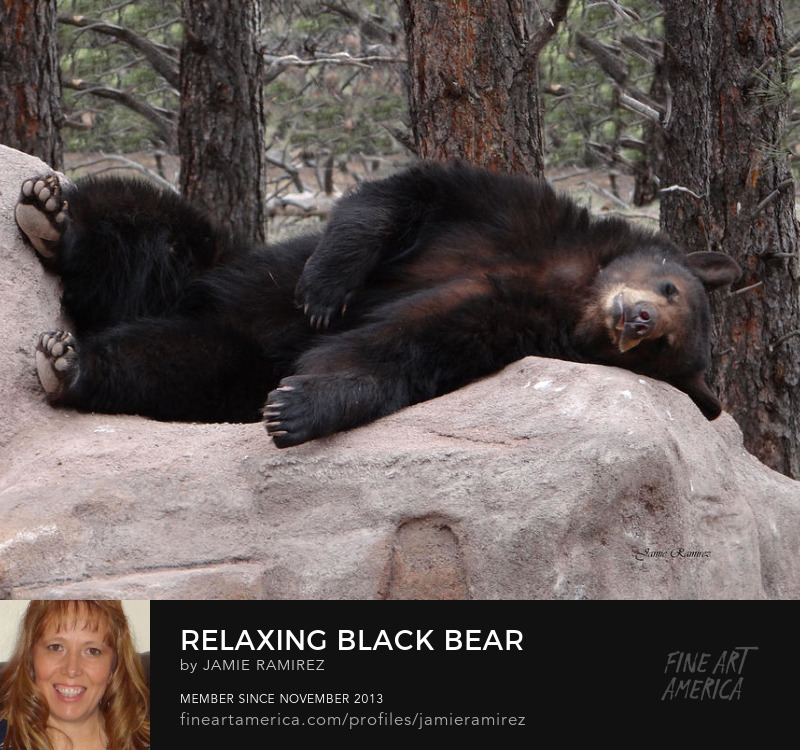 Relaxing Black Bear Photography by Jamie Ramirez