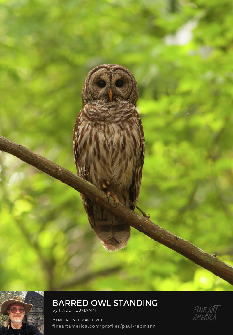 See purchase options for Barred Owl Standing Out In The Green by Paul Rebmann