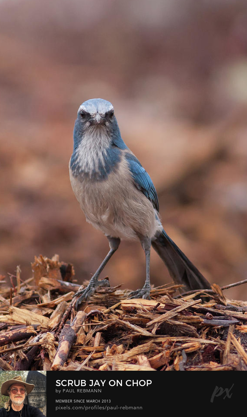 View online purchase options for Scrub Jay on Chop by Paul Rebmann