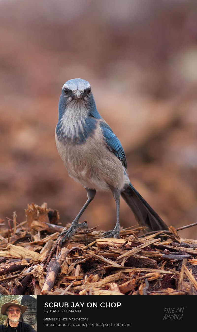 Online purchase options for Scrub Jay on Chop by Paul Rebmann