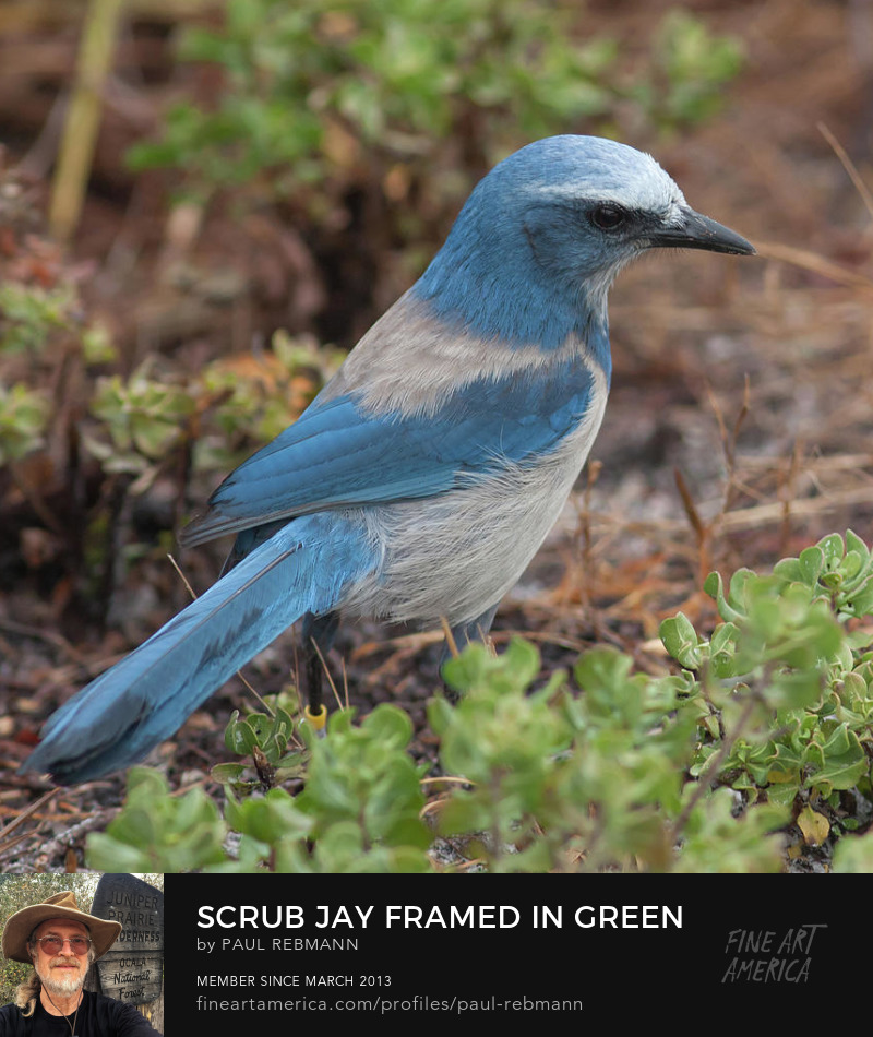 Online purchase options for Scrub Jay Framed in Green by Paul Rebmann