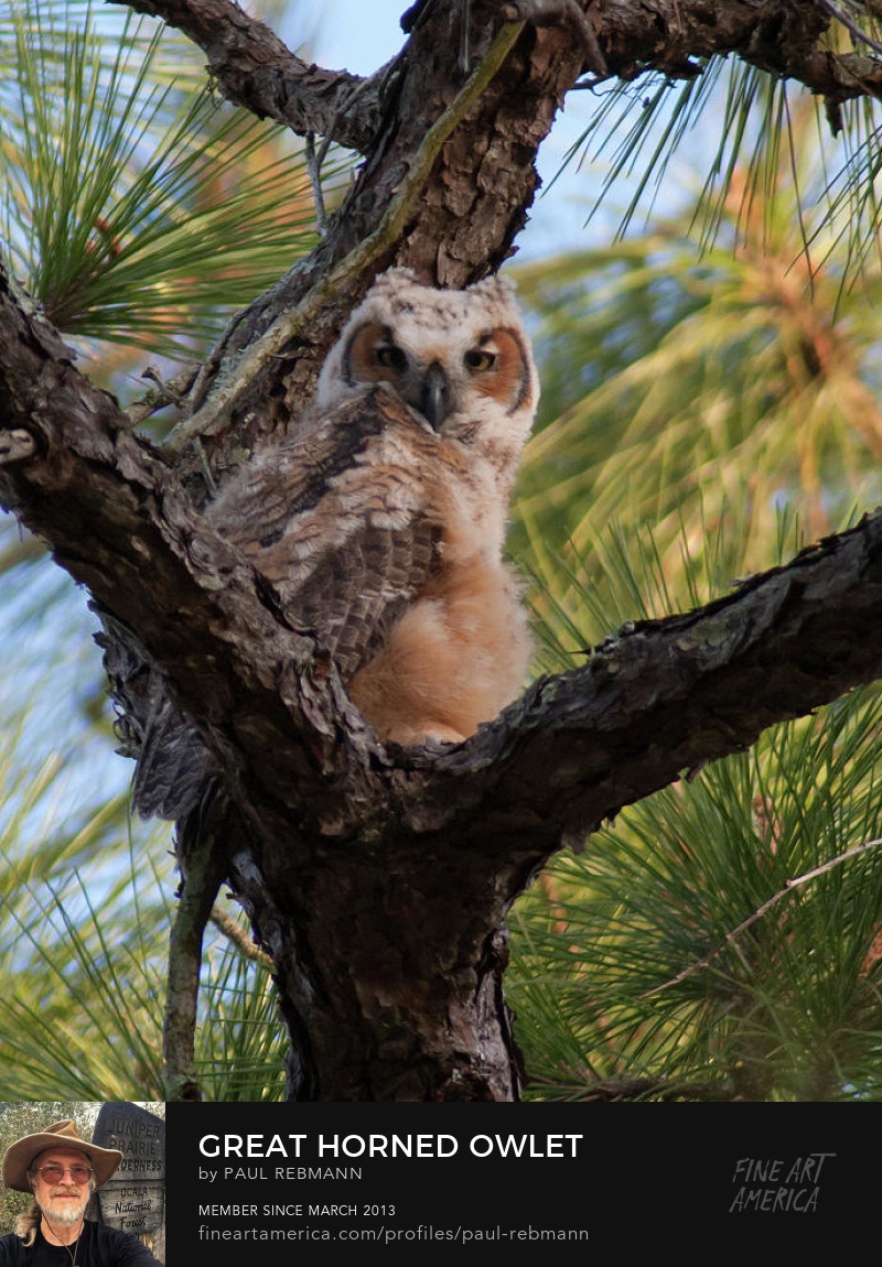 Online purchase options for Great Horned Owlet by Paul Rebmann