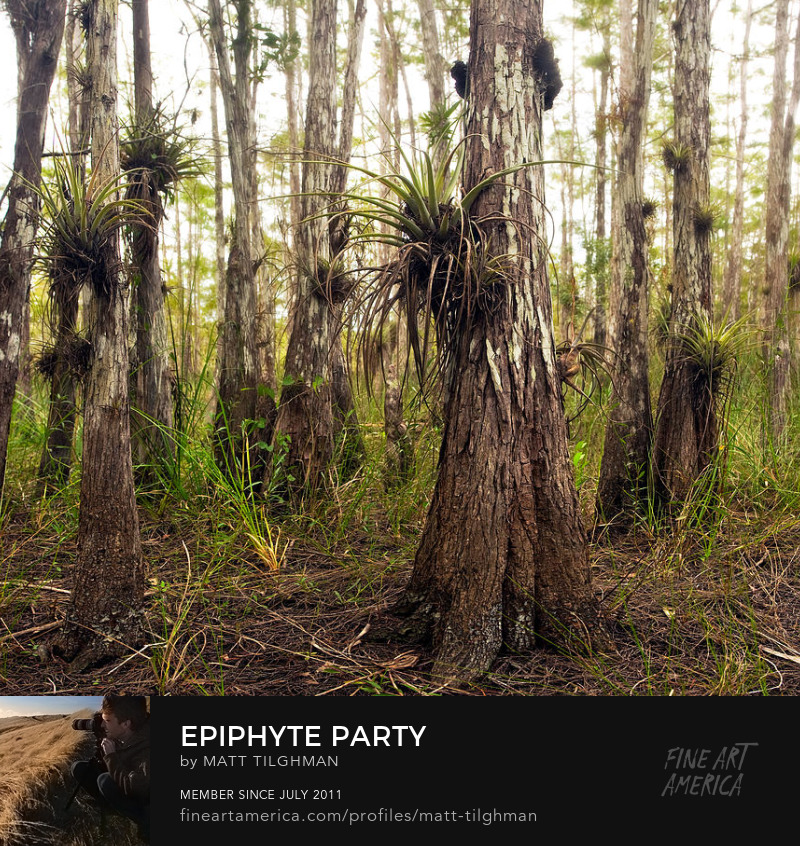 Big Cypress Air Plants Art Online