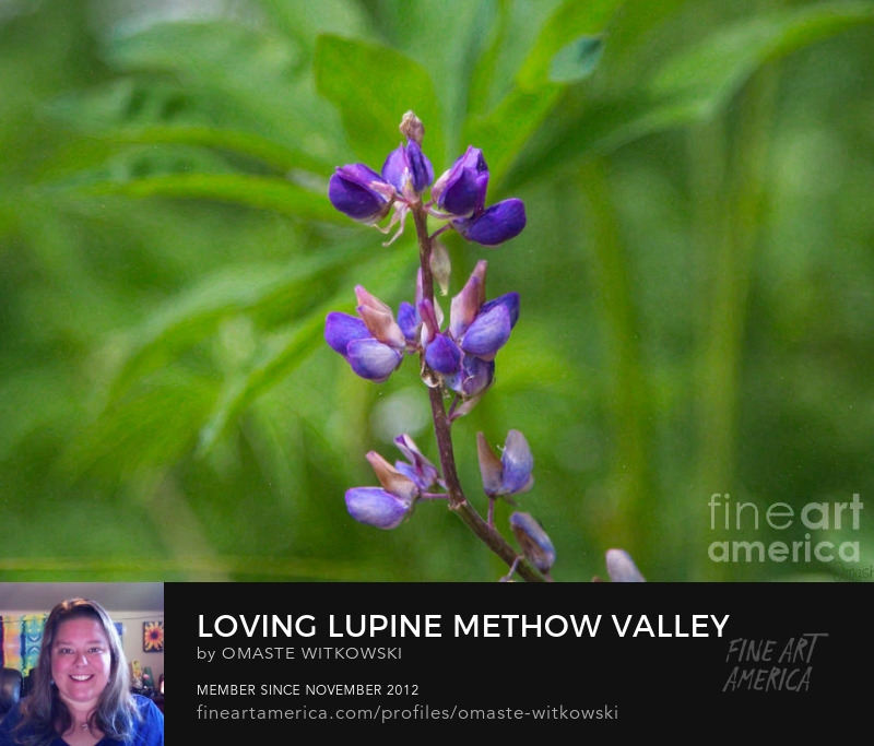 Loving Lupine Methow Valley Flowers By Omashte